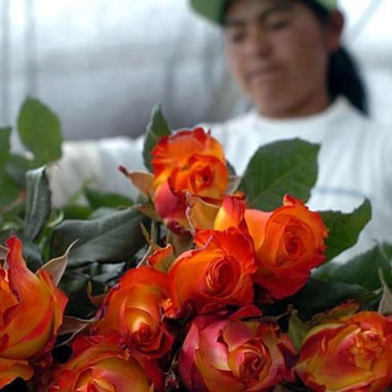 Rosas Ecuatorianas engalanan la visita del Papa a Corea del Sur